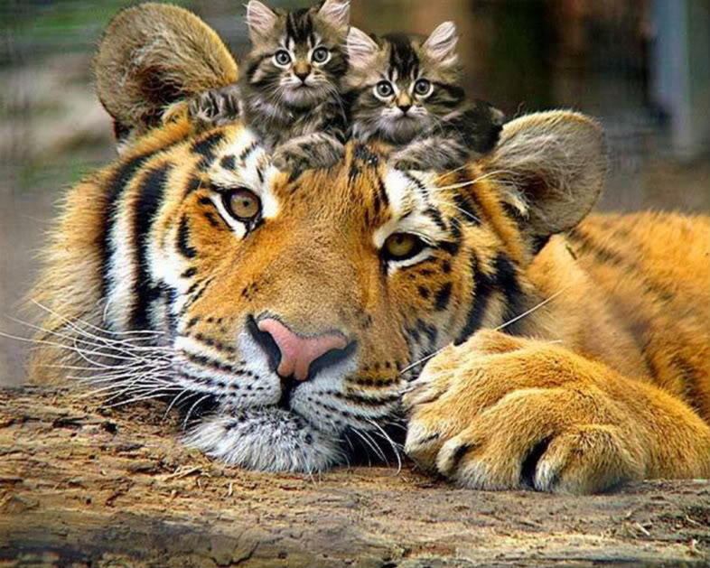 kitten-and-tiger